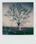 my dear old big tree