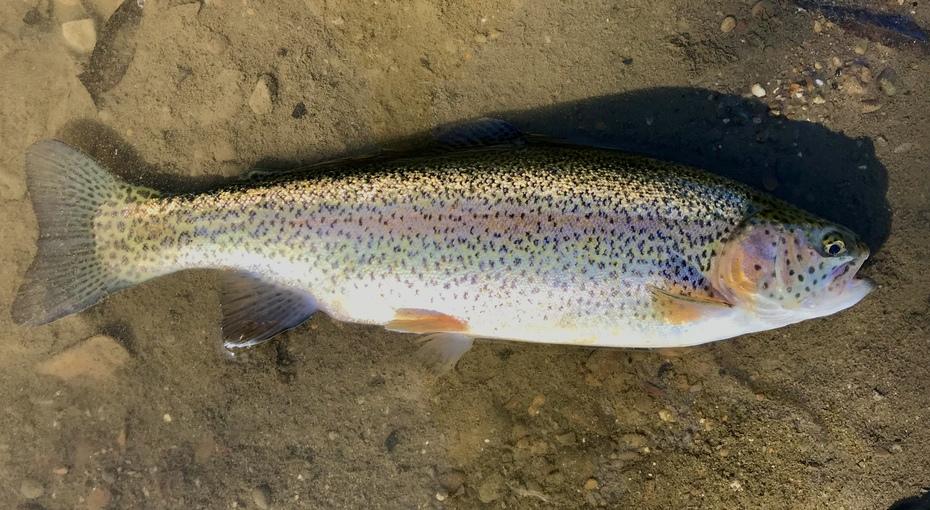 "14.25"" Rainbow Trout (11-19-19)"