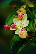 Apple blossom,RJM