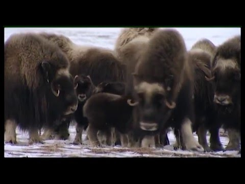 The Return of the Musk Ox HD