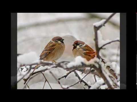 Paul Harvey ~ A Christmas Story: The Man And The Birds