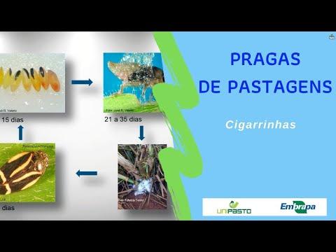 Cigarrinhas - Pragas de pastagens | Série Pasto Certo
