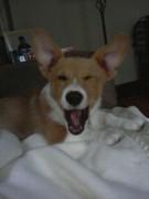 big yawn small pup