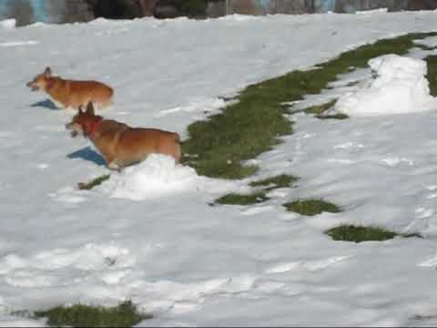 Corgis, first snow and a mouse