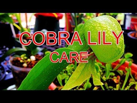 How to: Tips and Tricks to Cobra Lily Care Darlingtonia Califorica Carnviorous Pitcher Plant