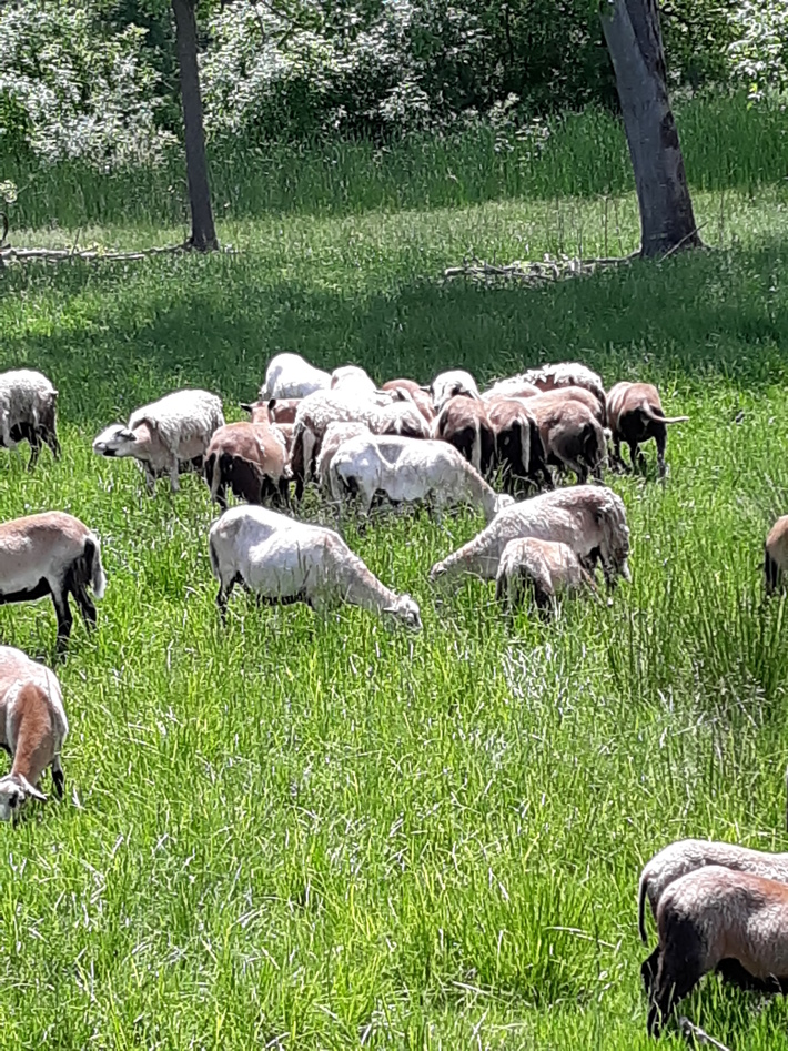 Ewes grazing in spring 2019