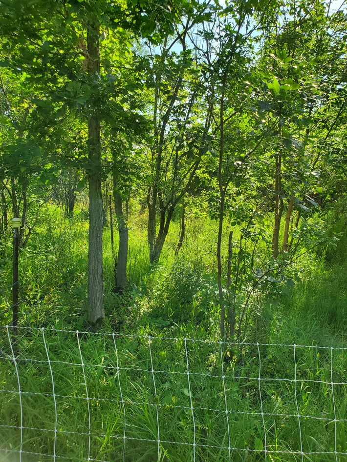 Sheep grazed thicket