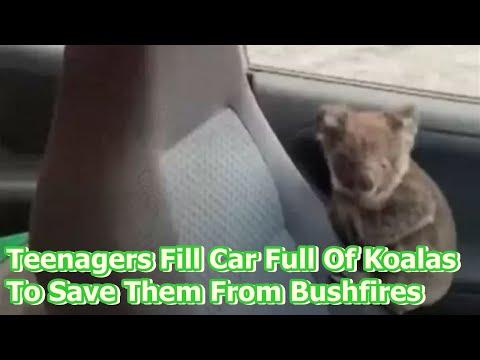 Adolescentes llenaron su coche de Koalas para salvarlos de los incendios de Australia