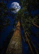 TREES IN FULL MOON LIGHT
