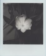 Tulipani #1