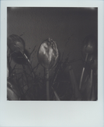 Tulipani #2