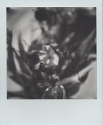 Tulipani #4