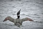 Loon popping out of the water