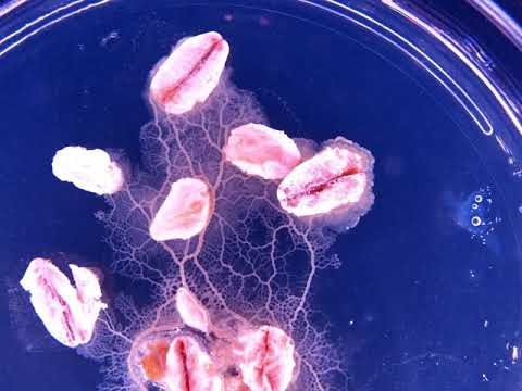 Physarum polycephalum time-lapse