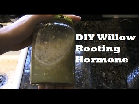 How to Make Organic Natural Willow Rooting Hormone For Propagating *SIMPLE* EZ