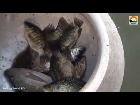 Tilapia Fish hunting by hand   হাত দিয়ে তেলাপিয়া মাছ শিকার