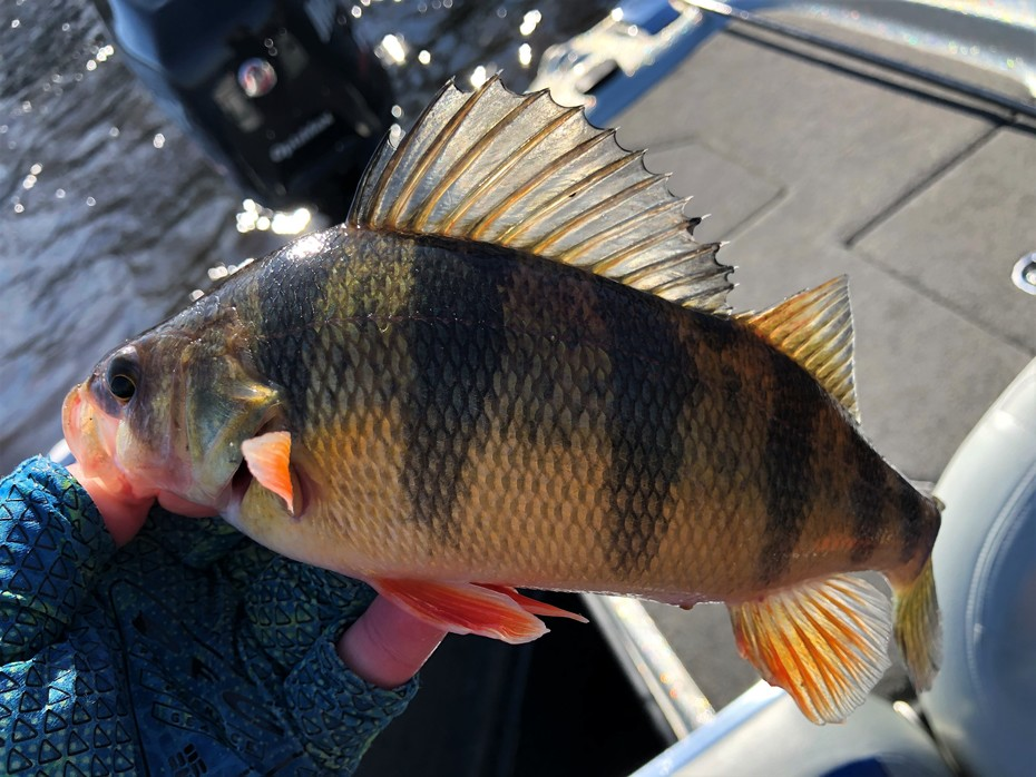 Some 13 Inch Class Spawning Perch Today....