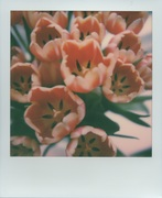 Tulipani (After)