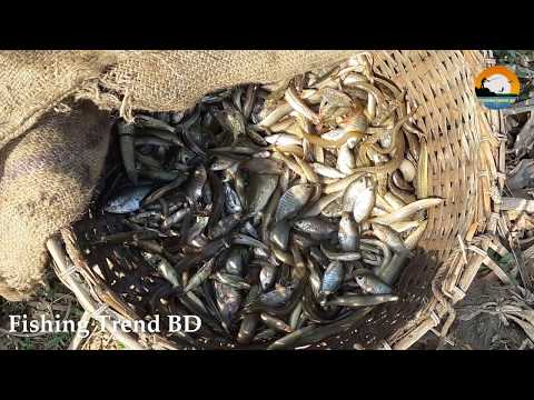 Traditional Village Fishing | Catching Fish By Hand | Fishing Trend BD