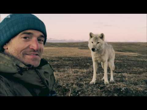 Living Among Wolves | Snow Wolf Family And Me | BBC