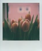 Tulipani #10