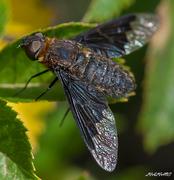 Μύγα Bombyliidae_2