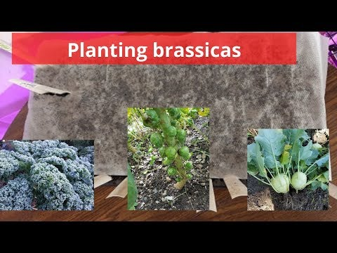 How to plant brassicas from seed simple and easy