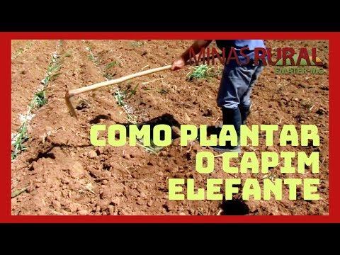 Dica Técnica: Como plantar o capim elefante
