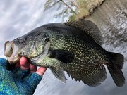 Tidal Crappie Chronicles On The Albemarle