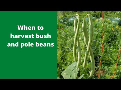 When to harvest bush and pole beans