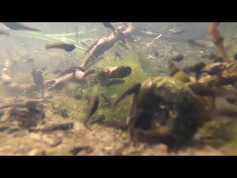St Andrews Park tadpoles