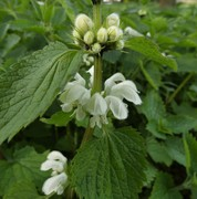 White Deadnettle  in flower in meadow area April 12th '20