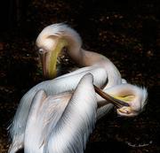 pelicans cross