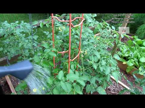 How to Use Aspirin on Your Tomato Plants to Prevent Diseases: Systemic Acquired Resistance (SAR)