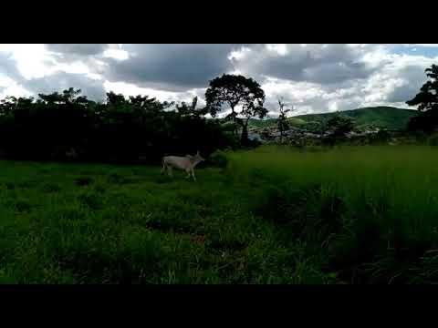 Avaliação de ganho de peso animal em área de pastagem em Sistema ILPF - Alagoinha - PB