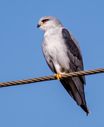 Blouvalk/Black-Shouldered Kite