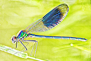 Emperor DragonFly- Anax imperator-female