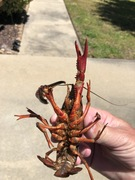 Crawfish 2020