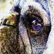 Eye of the Pug