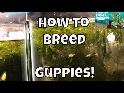 How to Breed Guppies Guppy Fish for profit  Breeding Guppies for Profit Guppy Tank Setup