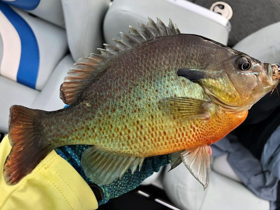 Decent RedBreast Sunfish......5/24/2020