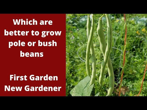 Bush  Beans or Pole beans is one better - First Garden New Gardener