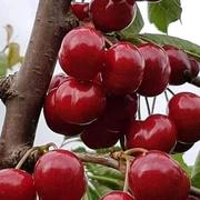 Cherry time folks