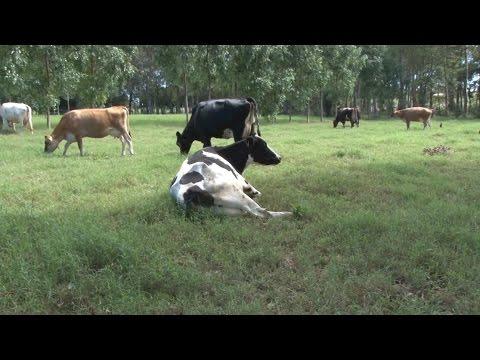 Integração de pastagem com eucalipto ajuda a melhorar a produção leiteira - RG Rural