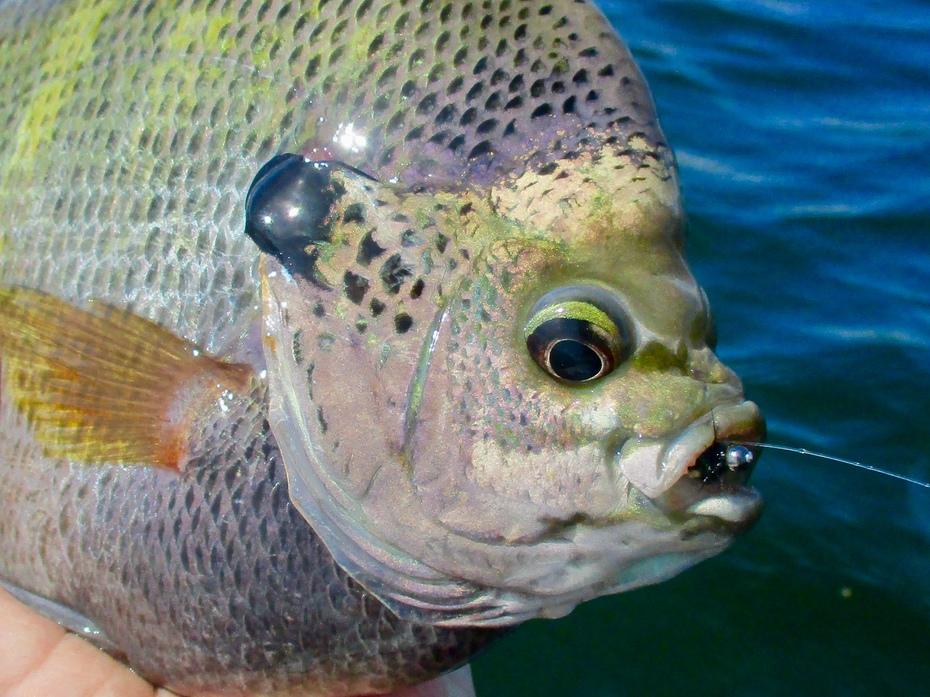 Bob Gaines fly fishing for Bluegill