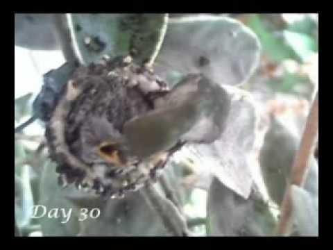 nascimento do beija flor