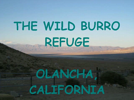 The Wild Burros of Olancha