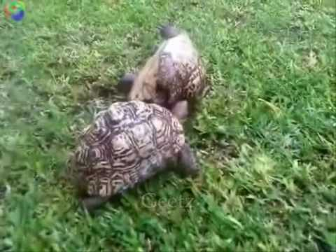 Turtle helps friend who's flipped over.