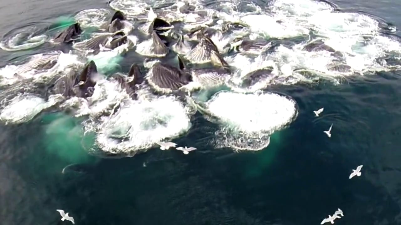 Humpback Whales Bubble Feeding Drone Views