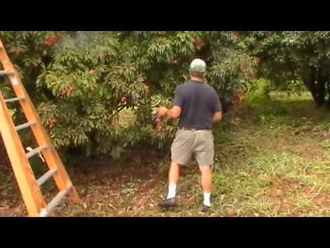Picking and Pruning Lychees
